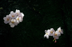 胴吹き桜 2015
