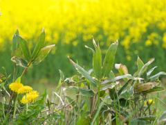 どっちが綺麗? 《春の黄色比べ》