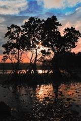 ヒルギのある夕暮れー2010