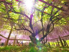 Japanese wisteria 《M1版》
