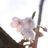 夕日に透ける桜