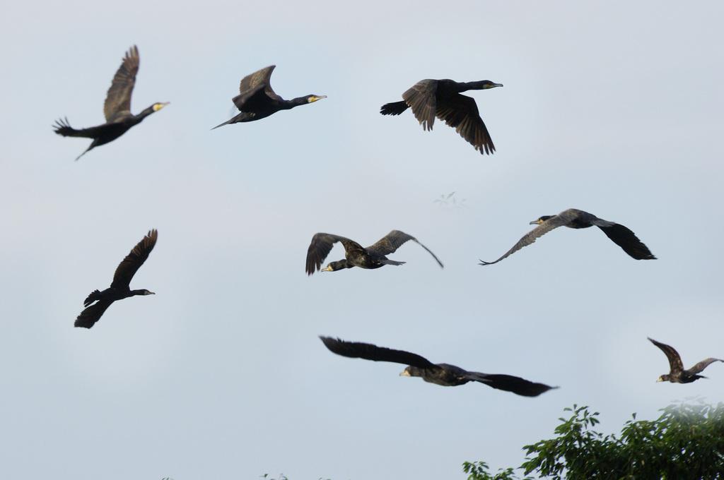 川鵜の飛行