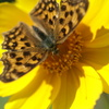 花と蝶(バットマンシャドー)
