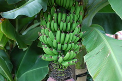 バナナの赤ちゃん