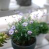 ベランダのお花