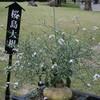 大根の花~!