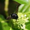 オキナワクマバチ