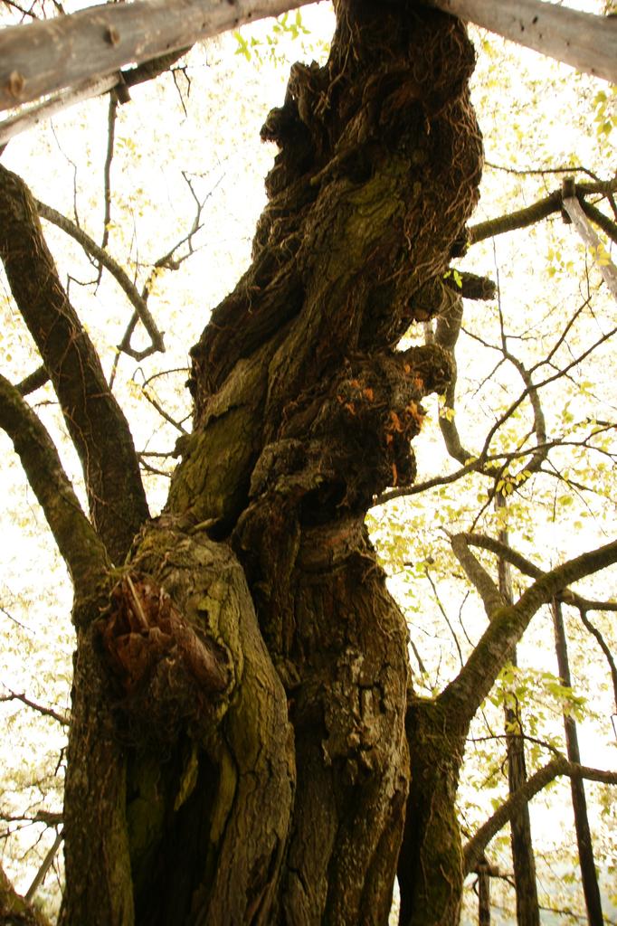 桜の老木 その二