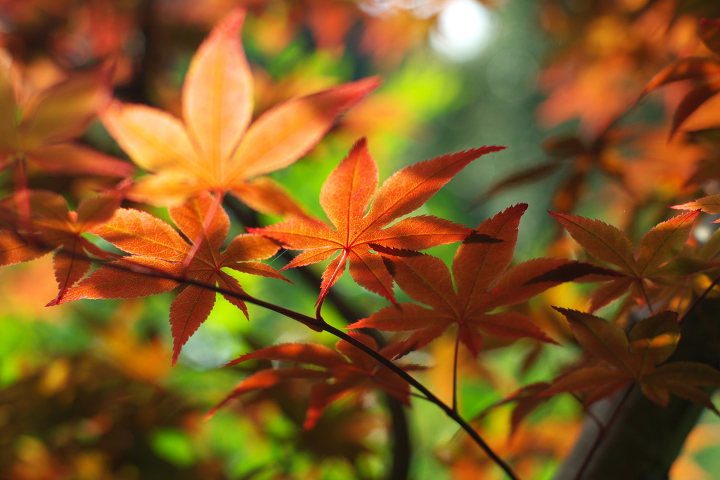 新緑紅葉4