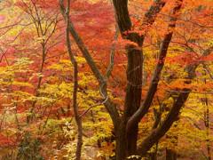 紅葉の森(1)