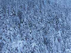 雪の針葉樹林