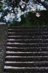 桜階段_IMG8297