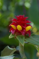 ハワイの花③