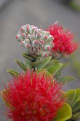 ハワイの花⑤