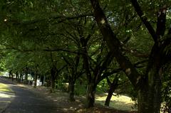 公園の並木