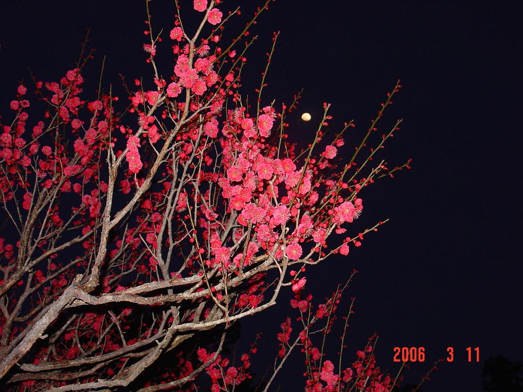 水戸偕楽園の梅祭りDSC00008-0001