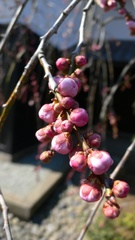 梅の花のつぼみ