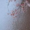 天神川と桜