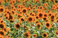 SunFlowers3