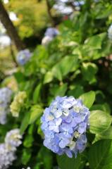 通りすがりの紫陽花