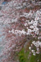 天神川と桜2