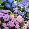 ツートン紫陽花