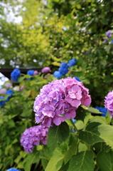 ピ・ン・ク紫陽花