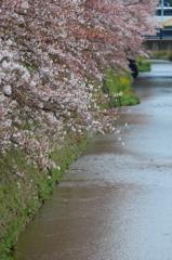 天神川と桜4