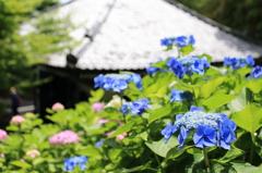 お堂と紫陽花