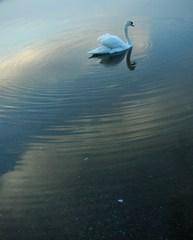白鳥と波紋