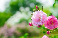 May RosesⅡ