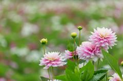 花畑のダリア達Ⅱ
