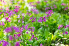 クリンソウの花畑