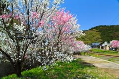 勝原の花桃