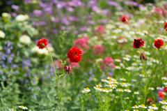 初夏の花畑