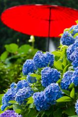 花はす公園の紫陽花