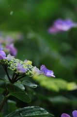 雨・紫陽花