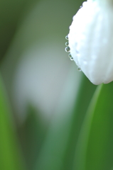 Drops on the snowdrop^^)