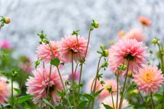 花畑のダリア達Ⅰ
