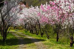 花桃の小径