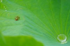 蓮とカエル