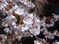 桜~また来年~