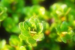 FlowerLeaf