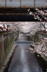都会のどぶ川にも春が来た。
