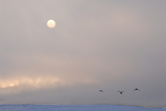 十勝川の白鳥2