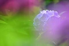 雨上がり2 紫陽花