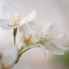 21年 My桜 3