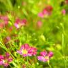 garden-poppink