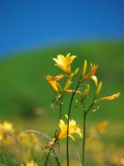 霧ケ峰・黄色い輝き