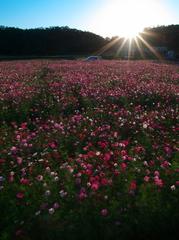 sunset cosmos